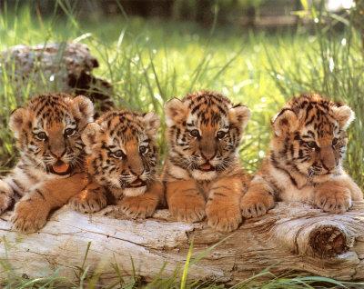 Süße Tigerbabys im Park